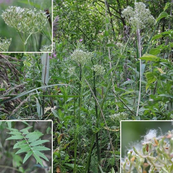 Foto/billede af Læge-Baldrian (Valeriana officinalis)
