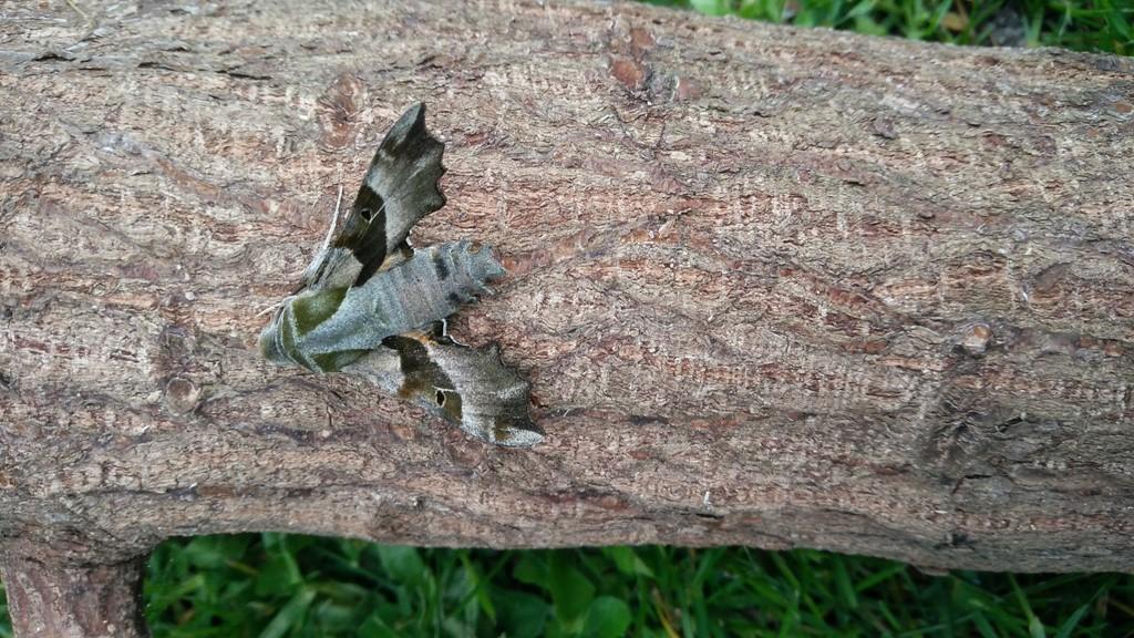 Foto/billede af Natlyssværmer (Proserpinus proserpina)
