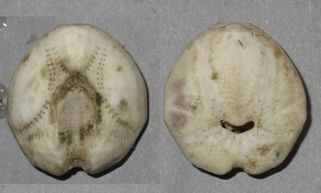Foto/billede af Almindelig sømus (Echinocardium cordatum)