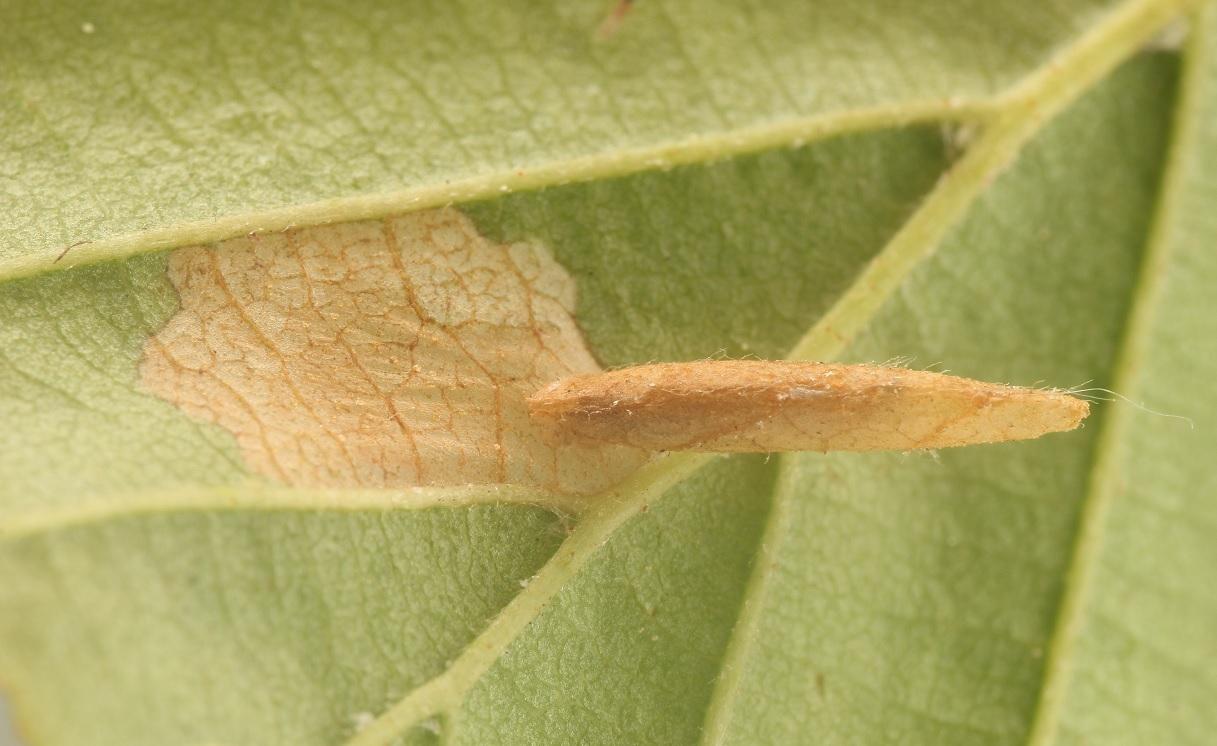 Foto/billede af Birkesækmøl (Coleophora serratella)