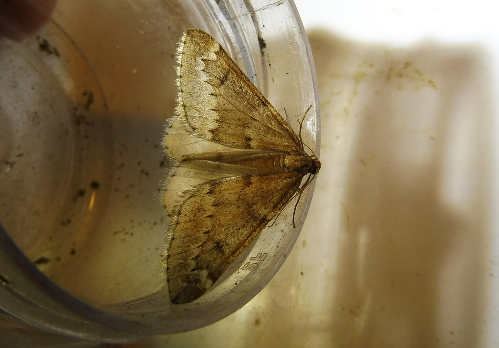 Foto/billede af Uldgumpmåler (Alsophila aescularia)