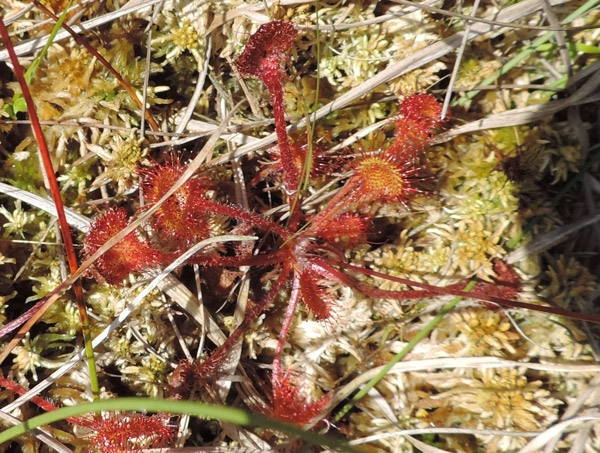 Foto/billede af Rundbladet soldug (Drosera rotundifolia)