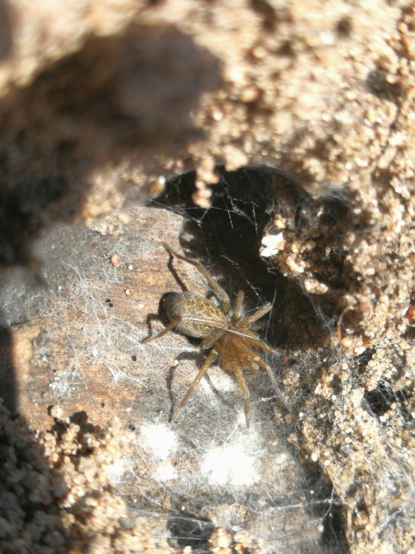 Ruderat-Husedderkop (Eratigena agrestis)