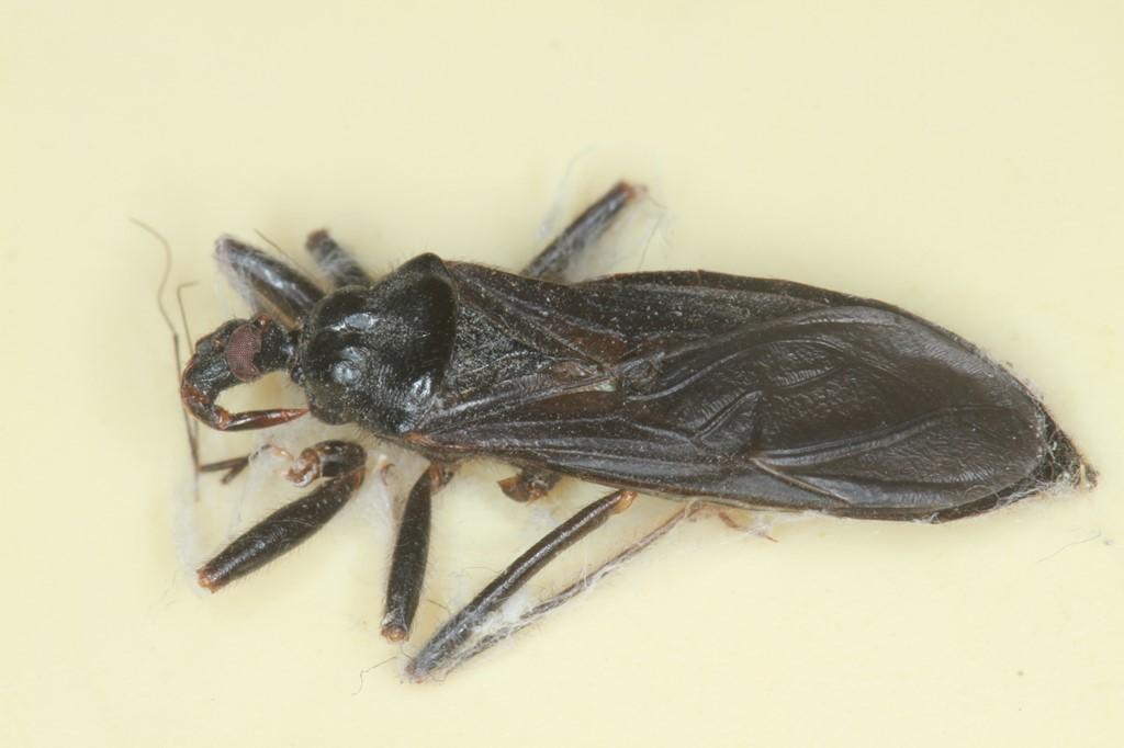 Foto/billede af Skarntæge (Reduvius personatus)