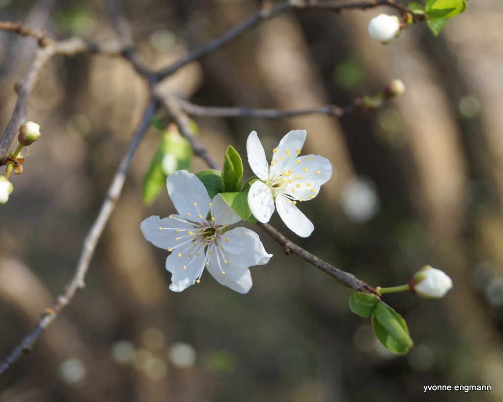Mirabel (Prunus cerasifera)