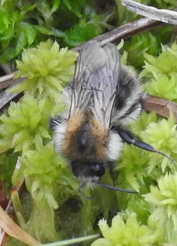 Foto/billede af Hushumle (Bombus hypnorum)