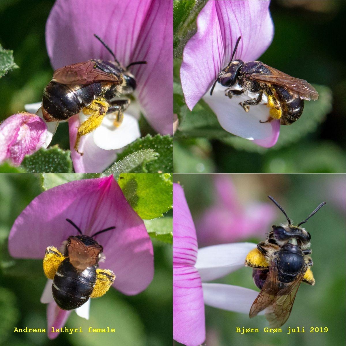 Foto/billede af Vikkejordbi (Andrena lathyri)