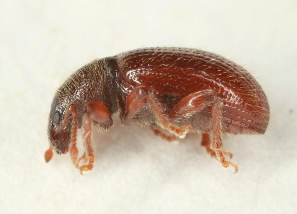 Barypeithes pellucidus