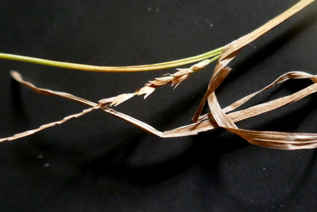 Tyndakset Star (Carex strigosa)