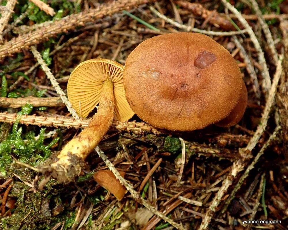 Kanel-Slørhat (Cortinarius cinnamomeus)
