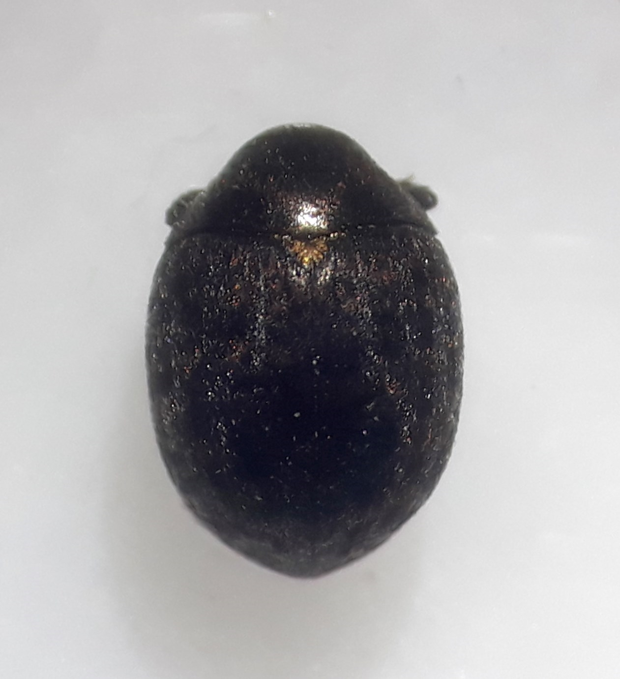 Cytilus auricomus