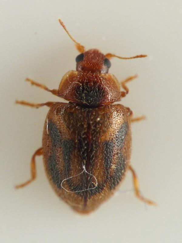 Foto/billede af Rhyzobius chrysomeloides (Rhyzobius chrysomeloides)