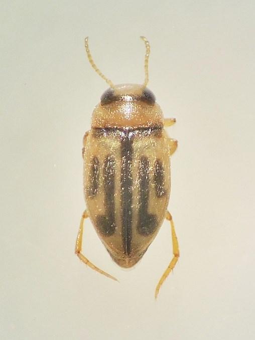 Hydroglyphus hamulatus (Hydroglyphus hamulatus)