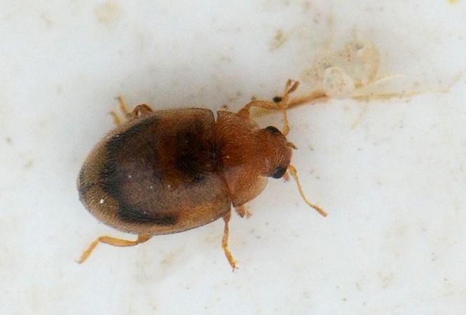 Foto/billede af Rhyzobius litura (Rhyzobius litura)