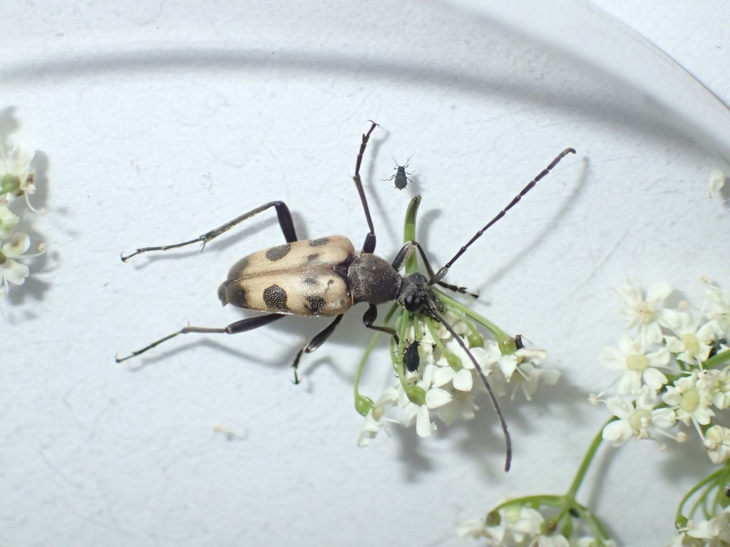 Jysk Blomsterbuk (Pachytodes cerambyciformis)