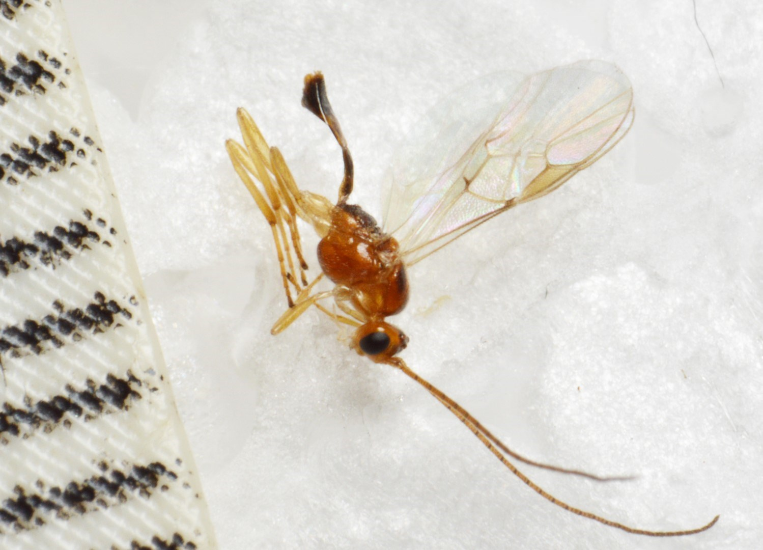 Meteorus ictericus