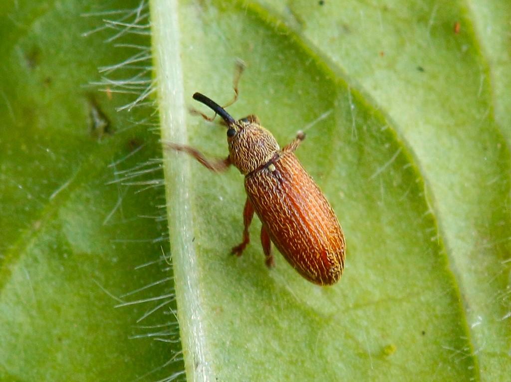 Foto/billede af Brachonyx pineti (Brachonyx pineti)