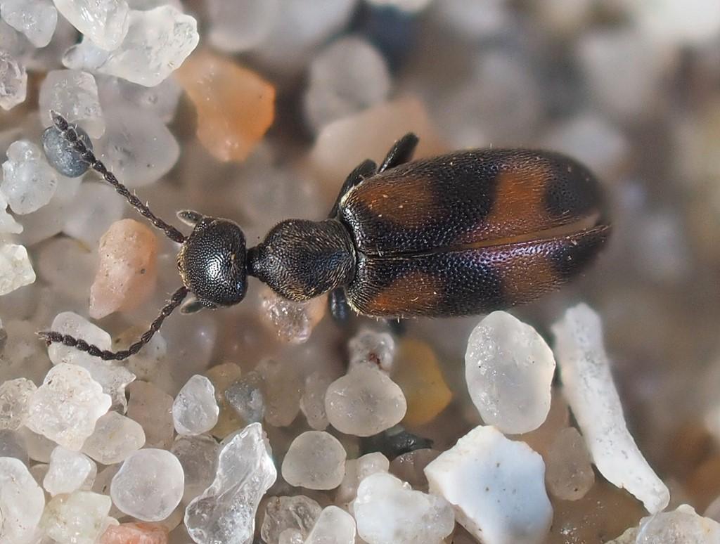 Foto/billede af Broget Sandpiler (Anthicus antherinus)