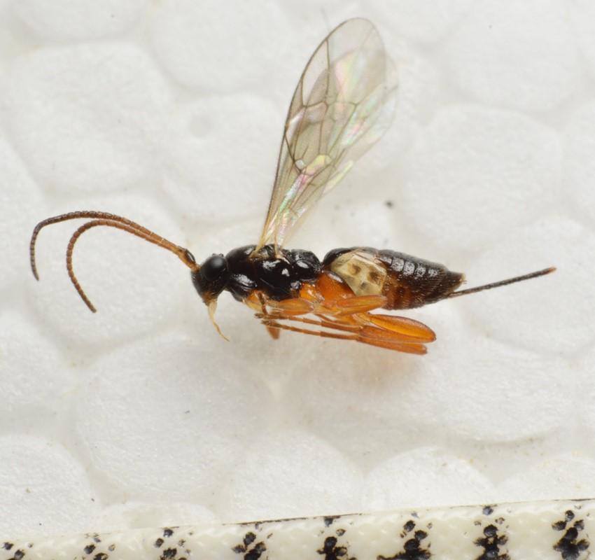 Picrostigeus recticauda