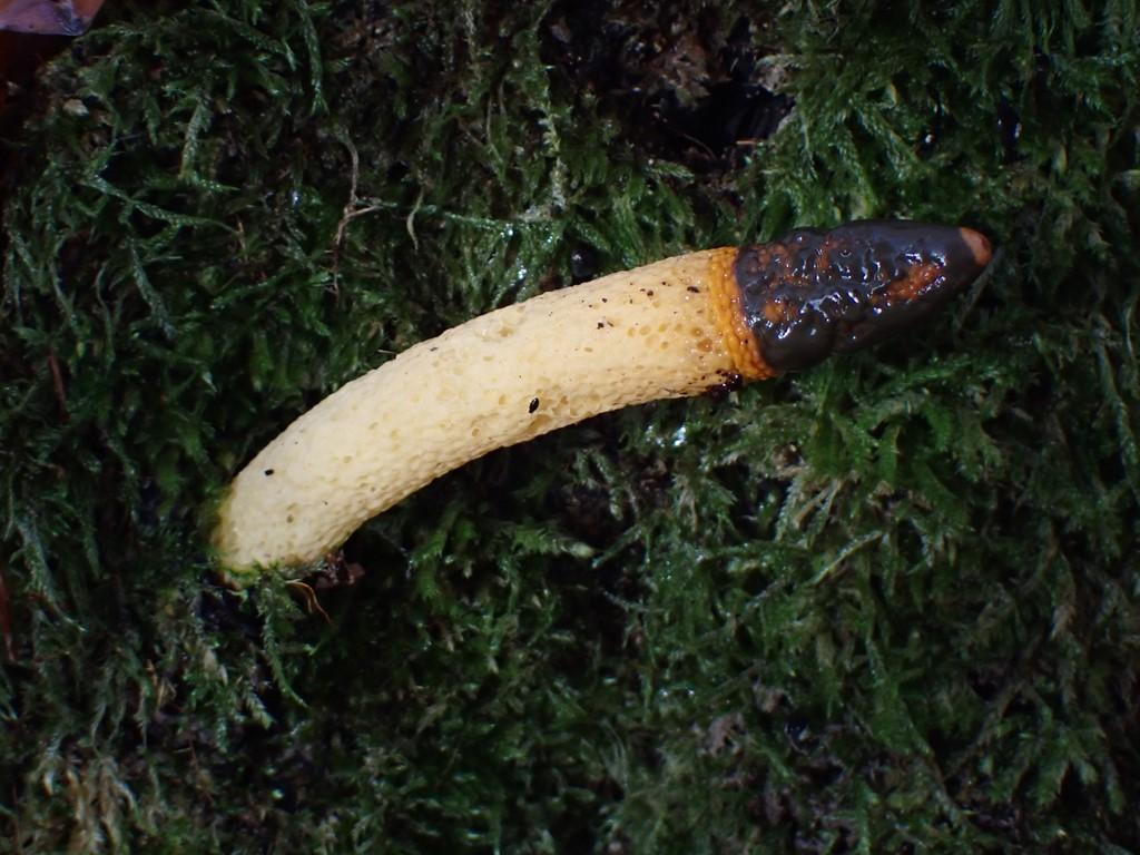 Hunde-Stinksvamp (Mutinus caninus)