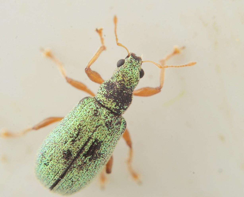 Polydrusus pterygomalis