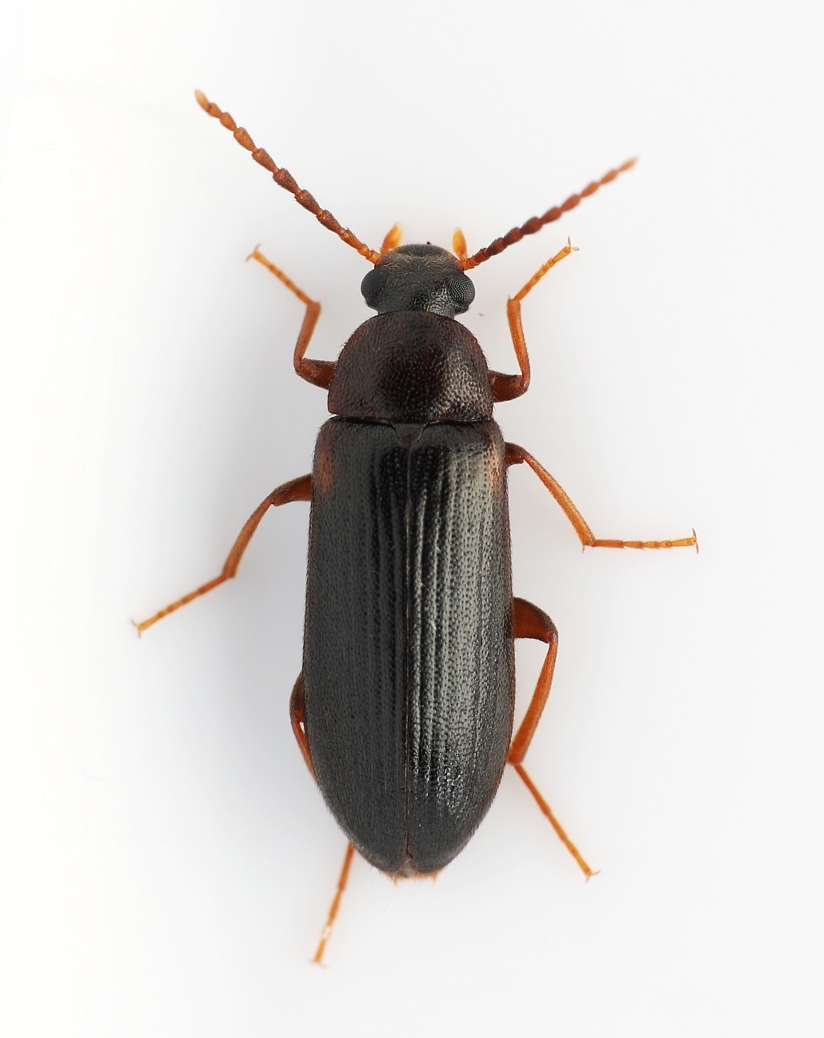 Mycetochara axillaris
