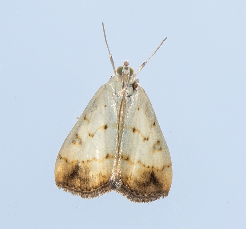 Evergestis extimalis