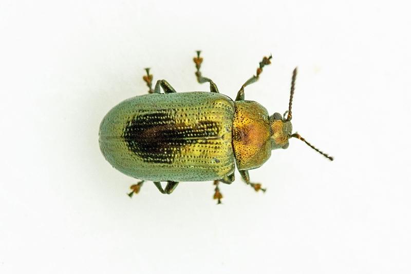 Gulgrøn Pilebladbille (Phratora vitellinae)
