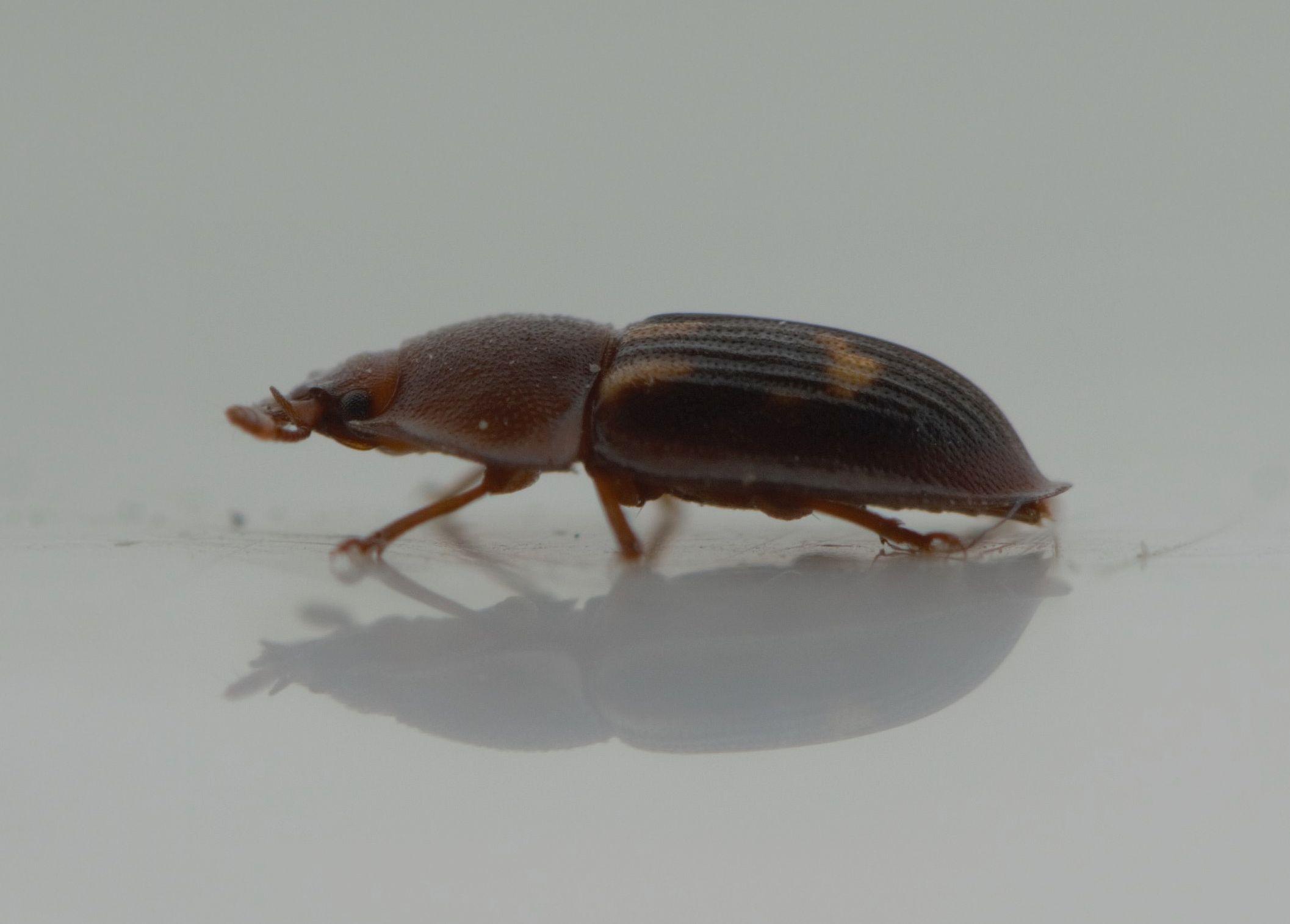 Foto/billede af Myrekøllebille (Amphotis marginata)