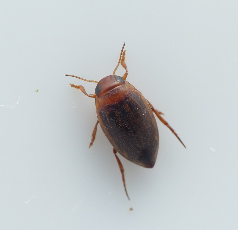 Porhydrus lineatus (Porhydrus lineatus)