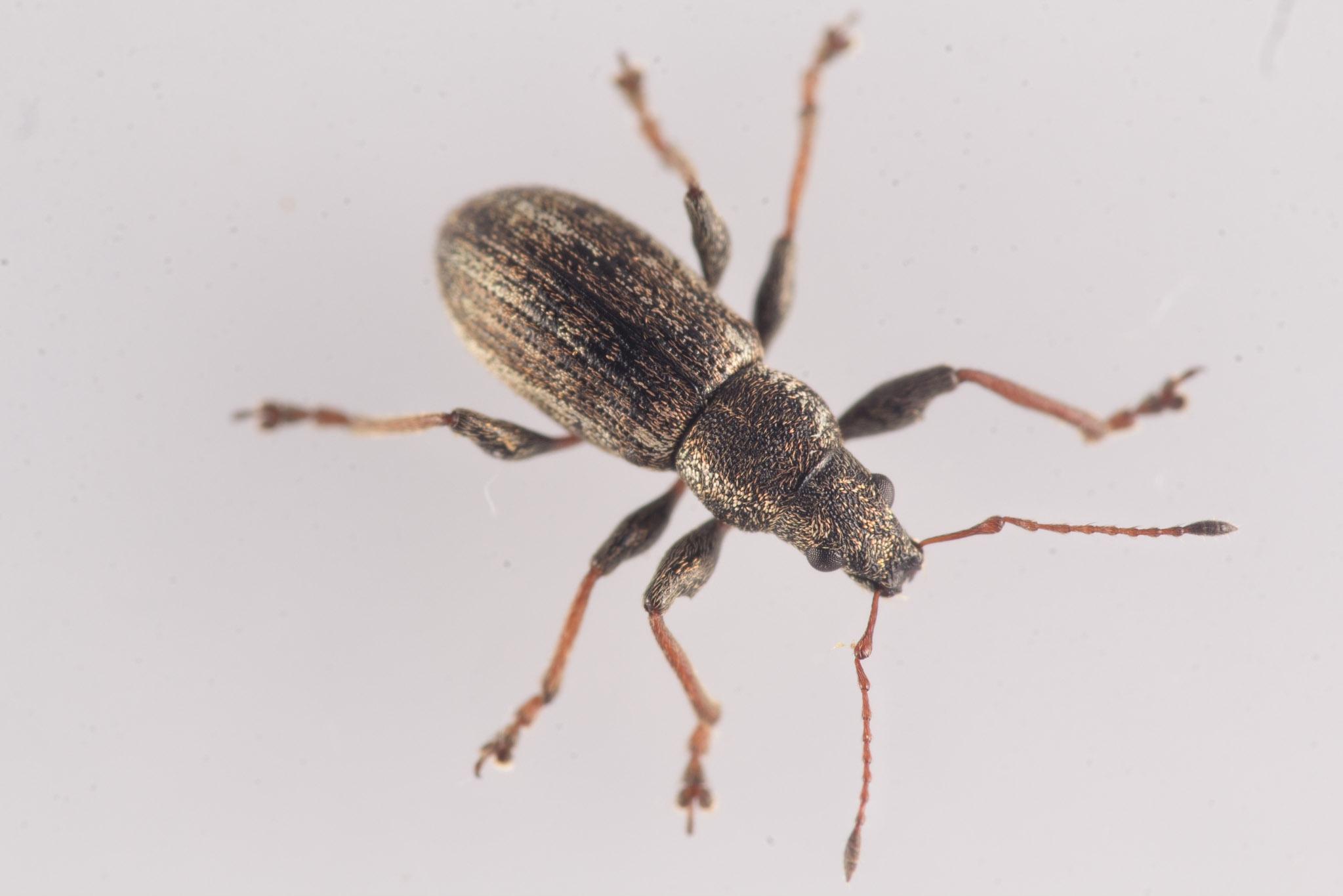 Foto/billede af Polydrusus confluens (Polydrusus confluens)