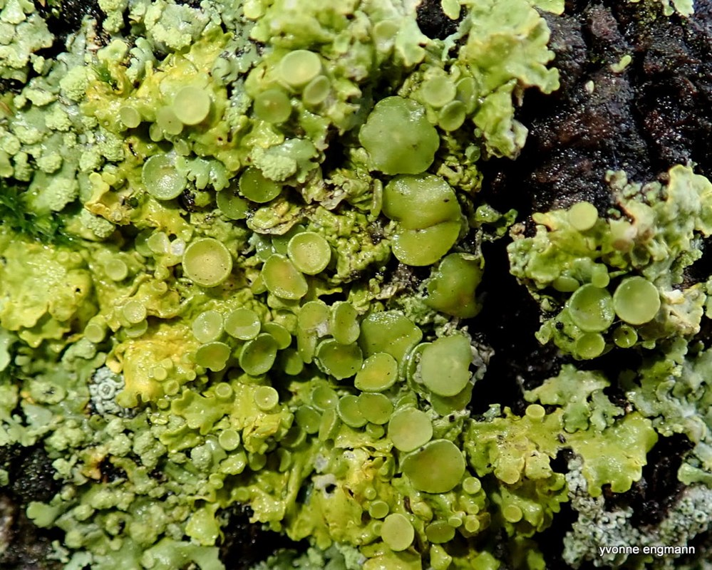Almindelig Væggelav (Xanthoria parietina)