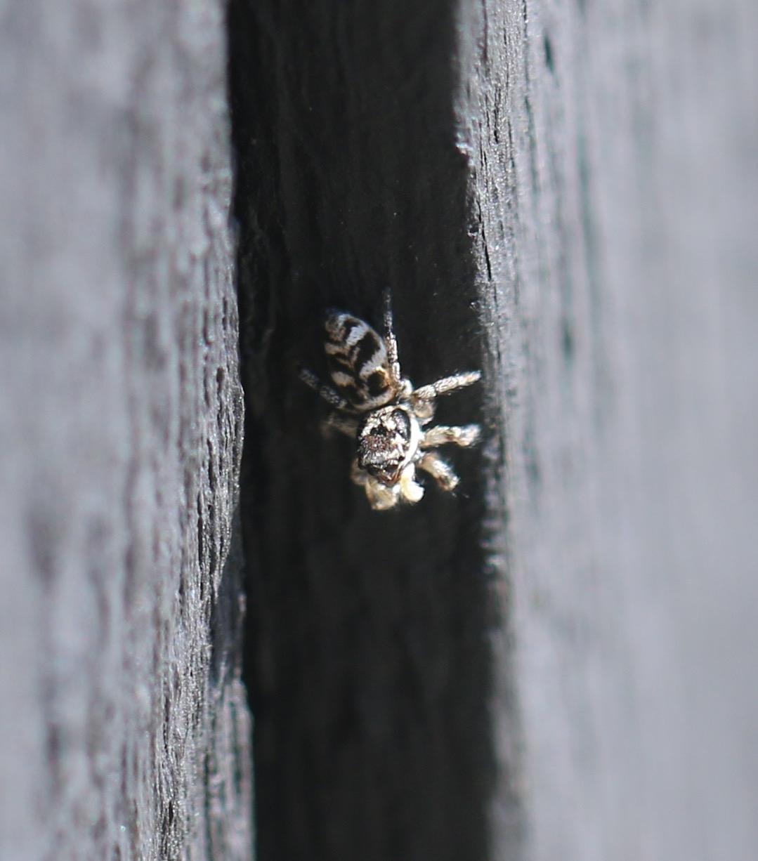 Almindelig Zebraedderkop (Salticus scenicus)