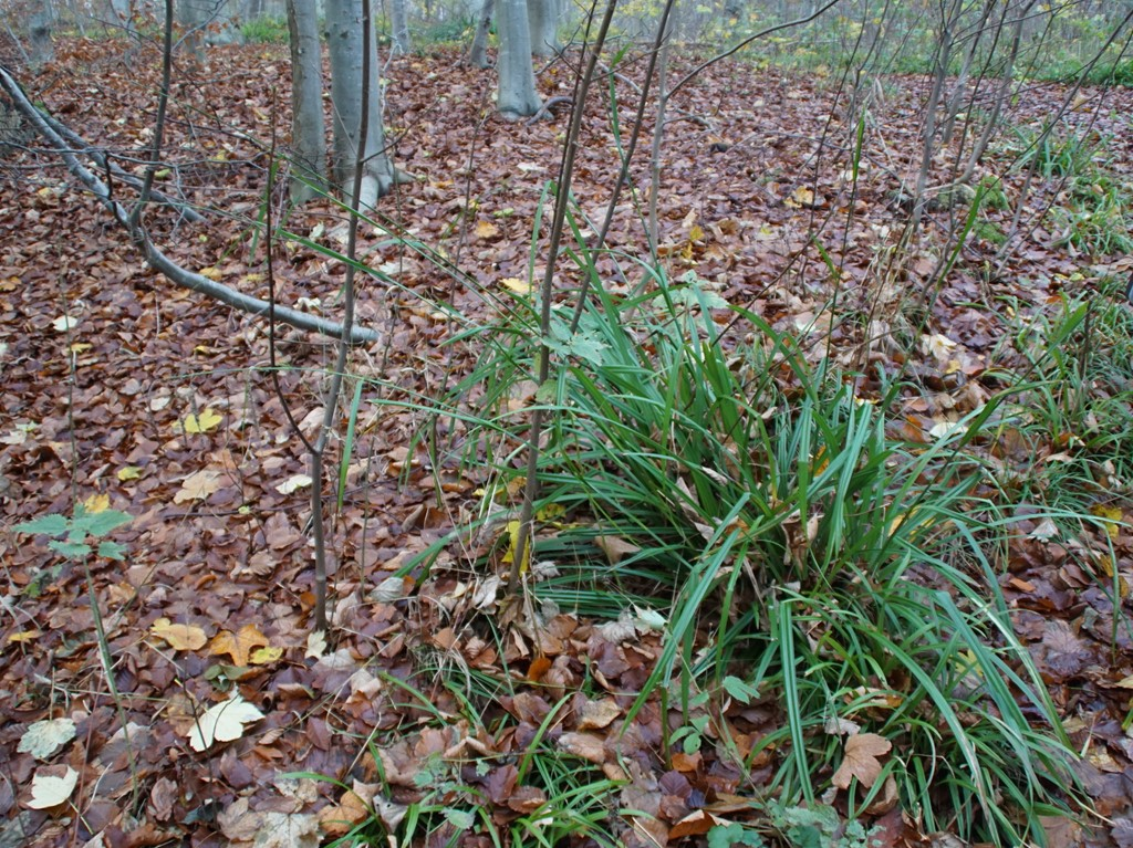 Kæmpe-Star subsp. pendula