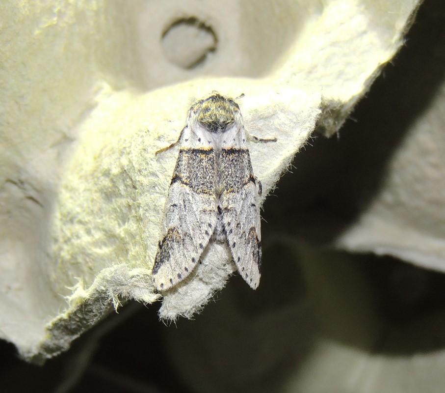 Aspegaffelhale (Furcula bifida)