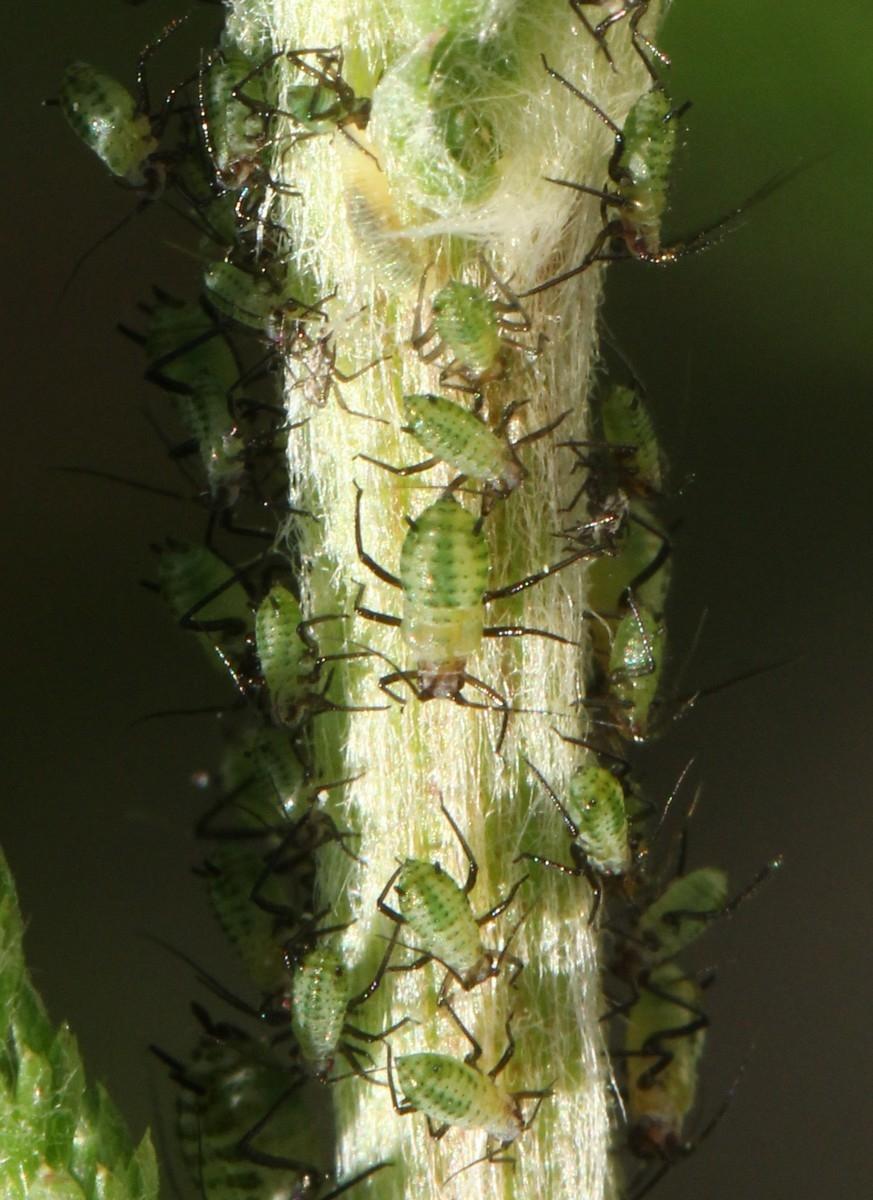 Røllikebladlus