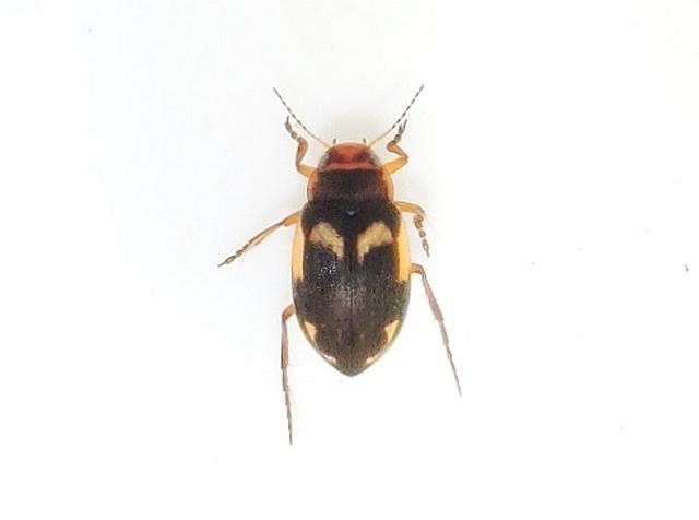 Hydroporus figuratus (Hydroporus figuratus)