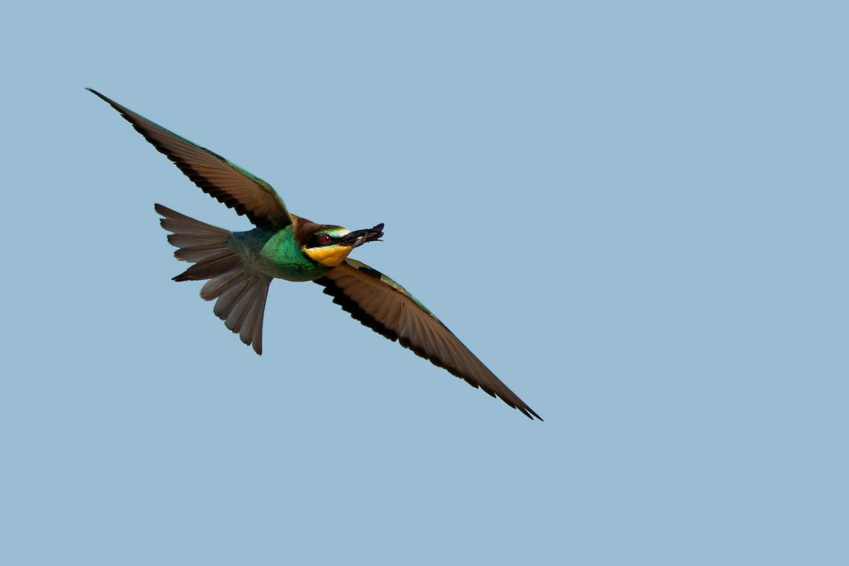 Biæder (Merops apiaster)