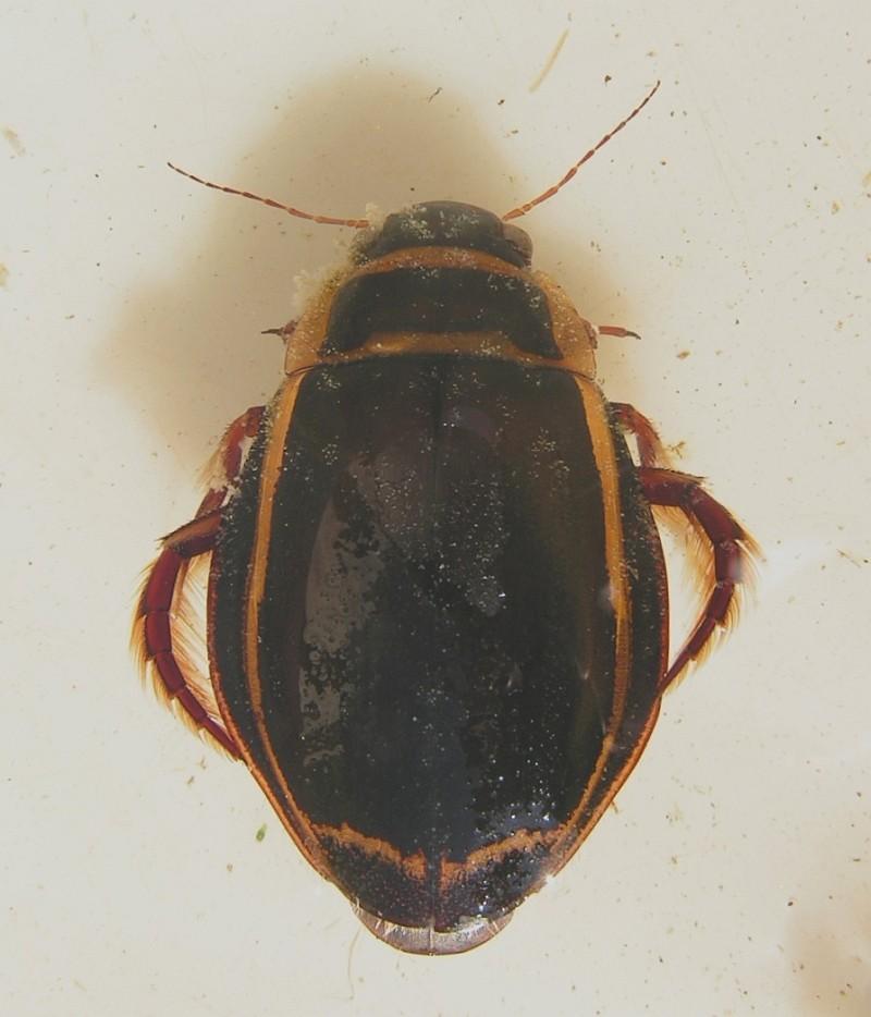 Bred Vandkalv (Dytiscus latissimus)