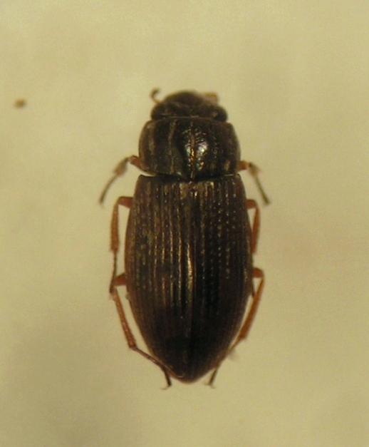 Helophorus nanus