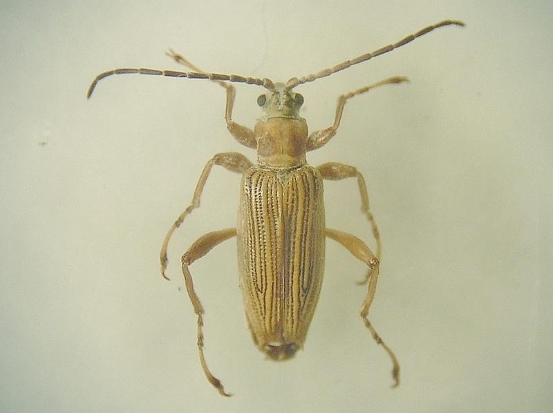 Macroplea appendiculata (Macroplea appendiculata)