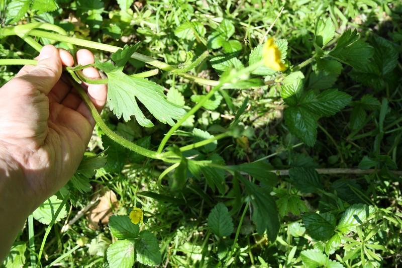 Foto/billede af Lav Ranunkel (Ranunculus repens)