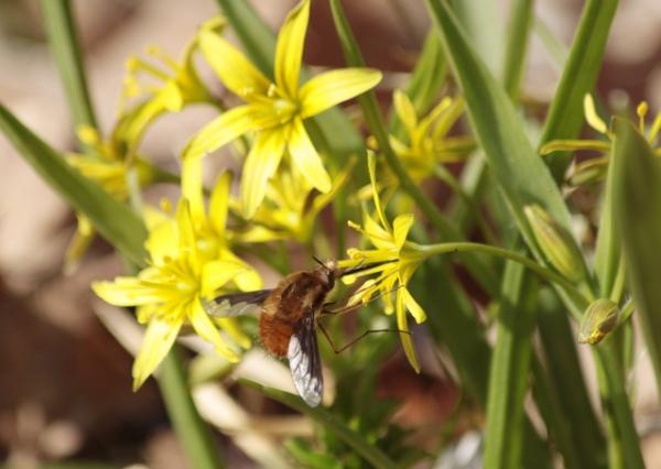 Foto/billede af Almindelig Guldstjerne (Gagea lutea)