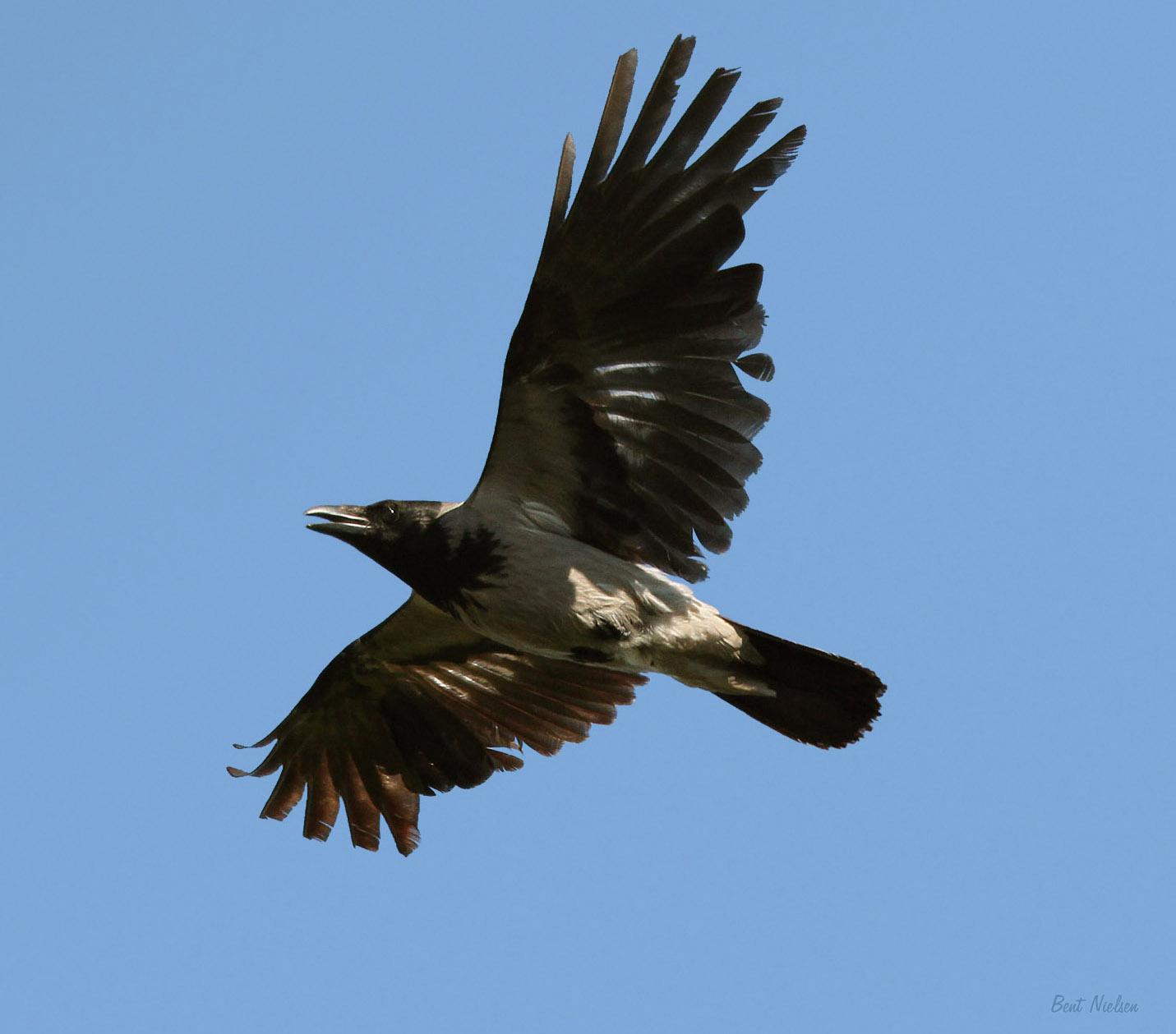 Foto/billede af Gråkrage (Corvus cornix)