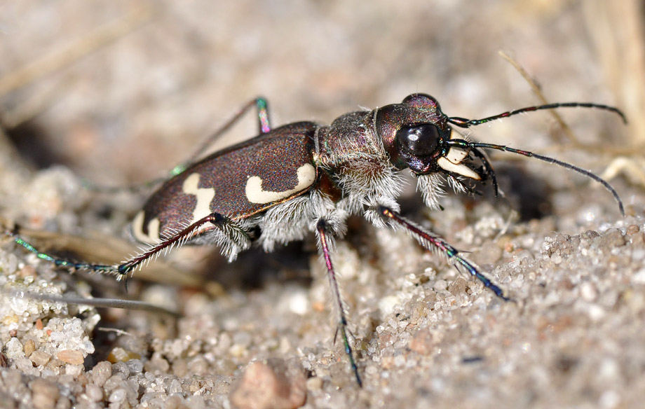 Foto/billede af Brun Sandspringer (Cicindela hybrida)