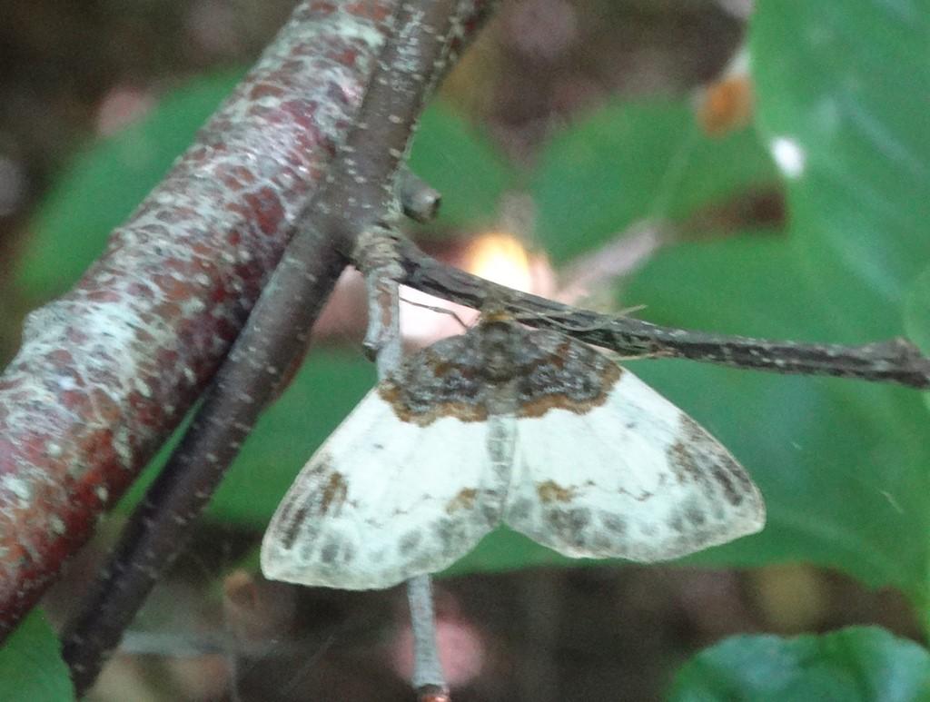 Foto/billede af Hindbær-Bladmåler (Mesoleuca albicillata)