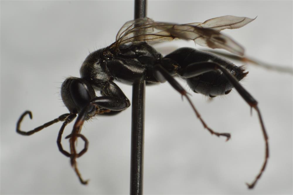 Dipogon subintermedius