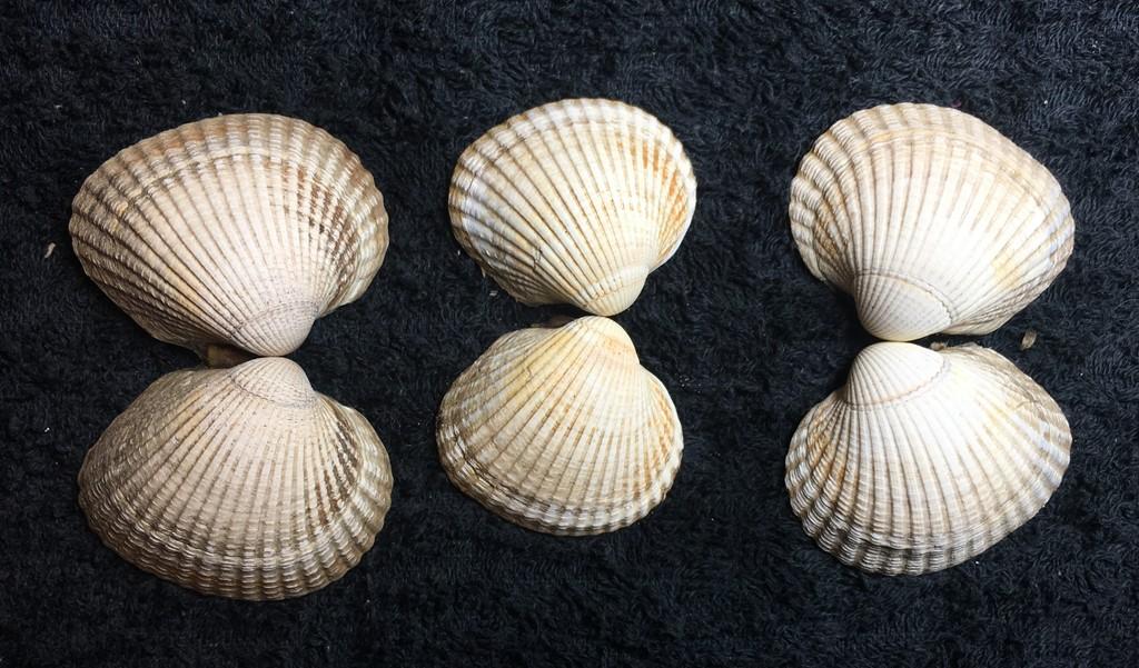 Foto/billede af Almindelig hjertemusling (Cerastoderma edule)