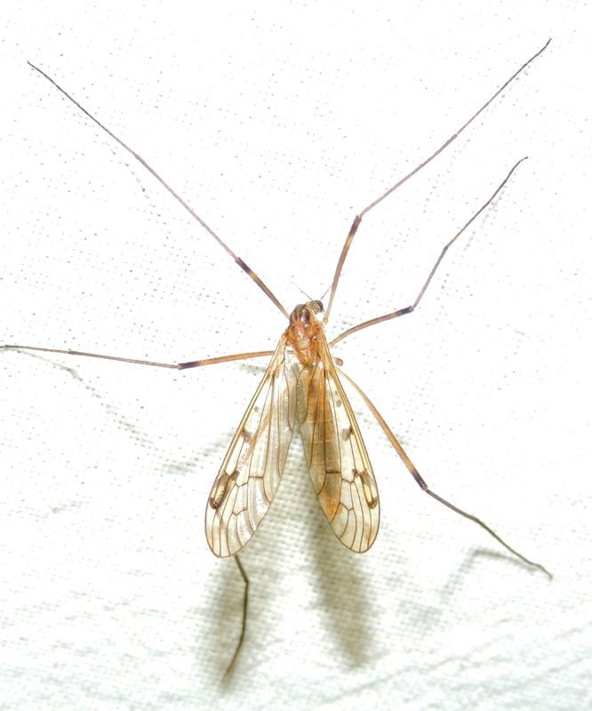 Metalimnobia quadrinotata (Metalimnobia quadrinotata)