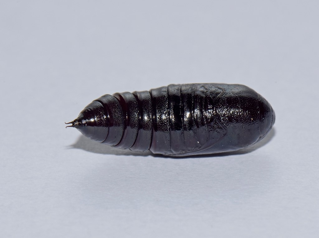 Foto/billede af Mørk Skræppeugle (Dypterygia scabriuscula)